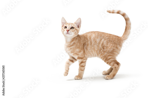 Profile Buff Tabby Playful Kitten