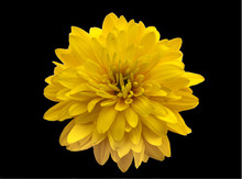 Yellow Flower Close-up Isolated On A Black Background, Minimal Art
