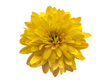 Yellow Flower Close-up Isolated On White Background