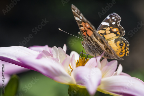 Fotografie, Obraz  Orange and black butterfly on pink flower blossom.