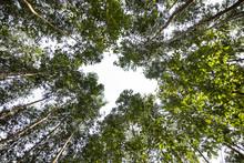 Nice Angle Of An Eucalyptus Forest