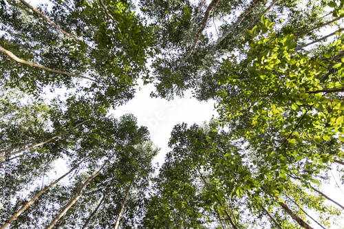 Fotografia, Obraz  wide angle view from below of an eucalyptus forest