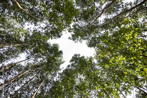 Nice angle of an eucalyptus forest Canvas-taulu