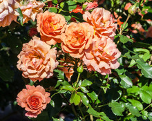 Rose Lambada Bushes Large Bright Half-terry Orange Flower And Buds, Roses Are Lit By Sunlight, A Summer Day, The Plant Grows In The Garden,in Full Bloom,