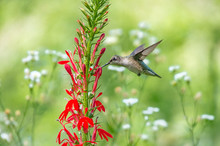 Ruby Throated Hummingbird And ...