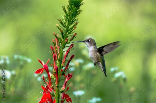 Photographie Ruby Throated Hummingbird and Cardinal Flower