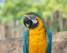Blue And Gold Macaw Poses For A Side Profile Picture