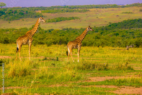 Beautiful shots of giraffes in Africa Poster