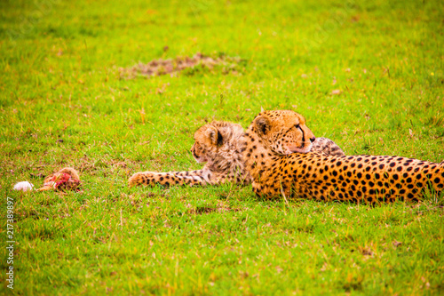 Photo  Portrait shots of cheetahs and cubs playing and lounging in Africa