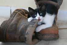 Kitten Half Out A Boot Chewing...
