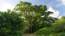 Majestic Banyan Tree In Pentecost Countryside, Vanuatu
