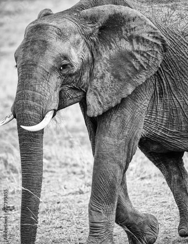 Black and white portrait of an African elephant Poster