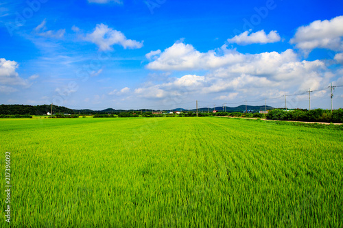 Spoed Foto op Canvas Weide, Moeras Korean traditional rice farming. Korean rice farming scenery. Rice field and the sky in Ganghwa-gun, Incheon, Republic of Korea.
