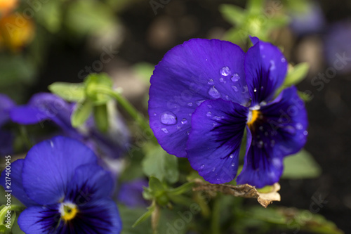 Staande foto Pansies Violet color pansy flower with dew drops on blur background.