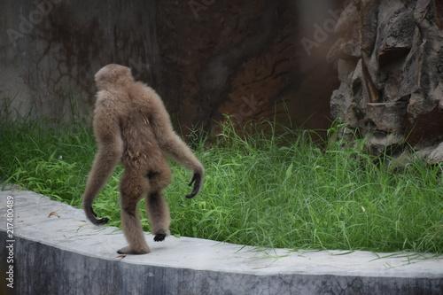 Fotografia brown chimpanzee
