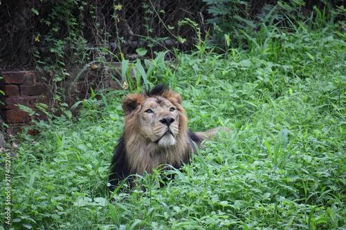 Foto op Plexiglas Leeuw Relaxing Asiatic Lion