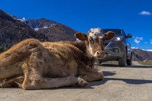 Fearless Cow Lying On The Road In The Mountains