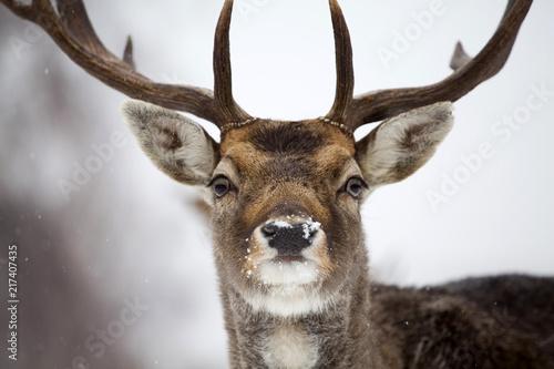 Ingelijste posters Hert Deer close-up