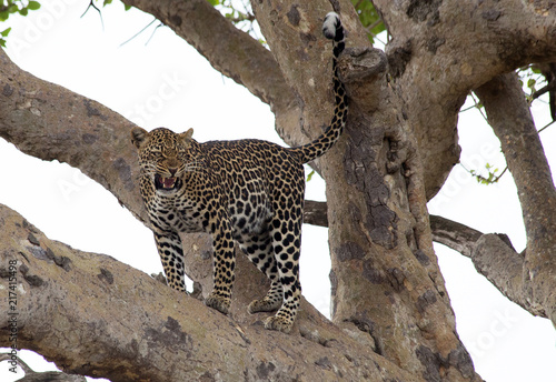 Tuinposter Luipaard A leopard (Panthera pardus) in the branches of a tree late afternoon - Tanzania
