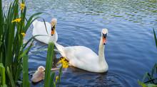 Parent Swans On Lake Teaching ...