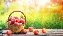 Red Apples Of Basket In Garden...