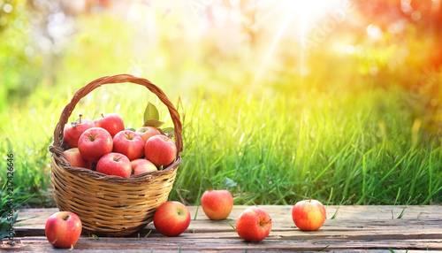 Red Apples Of Basket In Garden - Harvest Concept