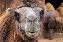 Bactrian Camel, Camelus Bactri...
