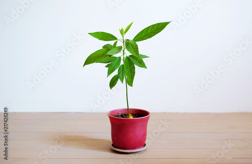 little avocado tree in a flower pot on the white background