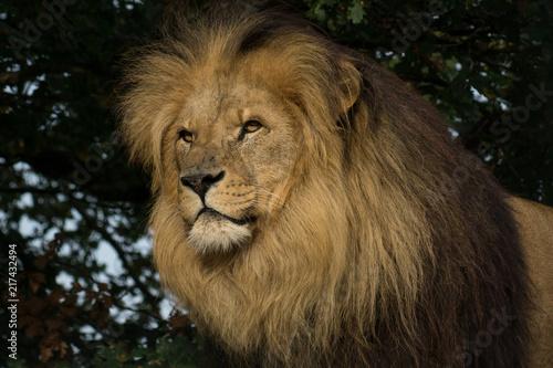 Fototapety, obrazy: Male Lion