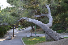 A Large Old Pine Trunk Leaned Over The Alley In The Park