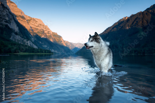 Spoed Fotobehang Wolf alaskan malamute and swiss mountains