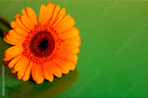 Staande foto Gerbera Single orange gerbera, selective focus, green background, free copy space