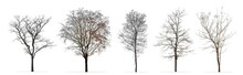 Set Of Winter Trees Without Leaves Isolated On White Background