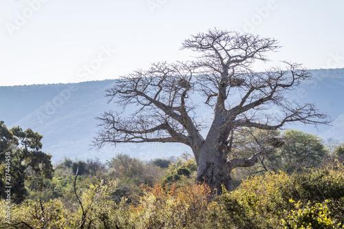 Deurstickers Baobab Baobab tree landscape in Kruger National park, South Africa ; Specie Adansonia digitata family of Malvaceae