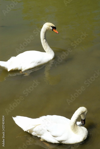 Staande foto Zwaan Cygne blanc sur un lac