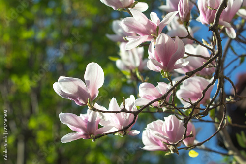 Deurstickers Magnolia Branch of magnolia
