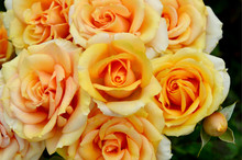 Many Orange Roses With Black Background For Wallpaper. Roses The Queen Of Flowers.