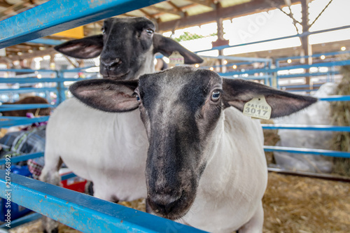Sheep stick head through pen at the county fair