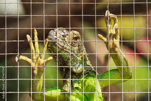 Green iguana unhappy in cage.