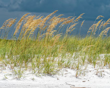 Sea Oats On The Dune Shine In Front Of Dark Skies