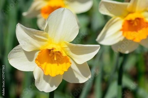 Foto op Plexiglas Narcis Daffodils in bloom