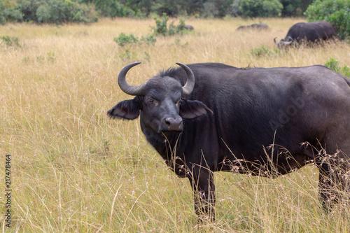 Keuken foto achterwand Buffel Cape Buffalo Profile