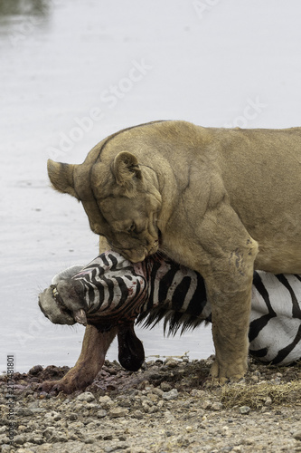Wall Murals Natuur Lion kills zebra in Tanzania Serengeti