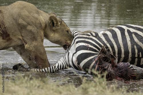 Poster Nature Lion kills zebra in Tanzania Serengeti