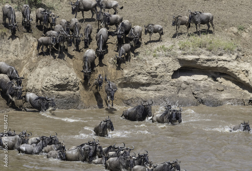 Fototapeten Natur The migration of the gnoes crossing the Marariver in Tanzania
