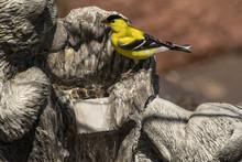 American Goldfinch In Nighthawk Gardens;  Wyoming