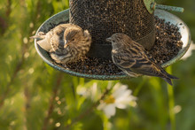 House Finch Eating Niger Seed ...