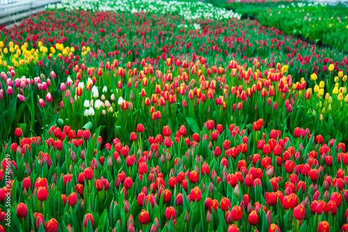 Spring scene of tulip field