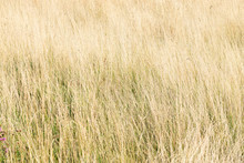 Yellow Tall Grass Growing On The Field, Hay For Cattle, Landscape, Natural Background