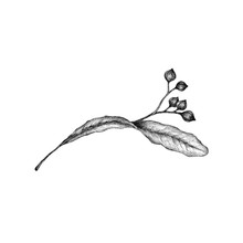 Drawing Of A Linden Blossom Isolated On White